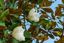Beautiful Magnolia Flowers On Blue Sky Background