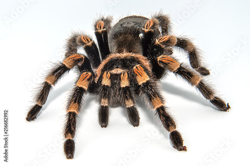 Mexican redknee tarantula (Brachypelma smithi) isolated on white background