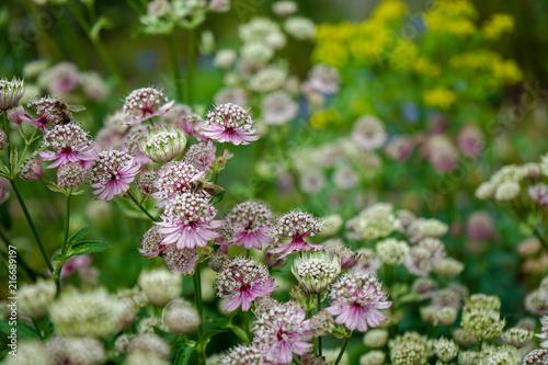 Photo Great masterwort flowers,. Astrantia major, blooming in a garden