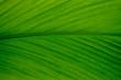 Leaf Curcuma Close up full frame view