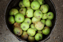 Green Putrid Rotten Apples  In The Bucket