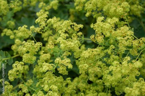 Cadres-photo bureau Olive yellow lion's foot flowers or ladies-mantle, alchemilla xanthochlora