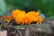 Korallenpilz auf Baumstamm