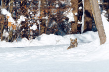 Young Italian Wolf (canis Lupus Italicus) In Maritime Alps Natural Park (Piedmont, Italy), Walking In The Snow