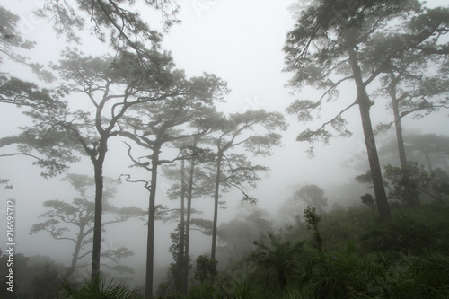 Fototapeta Pine Tree (Pinus merkusii) in the mist of cold obraz na płótnie