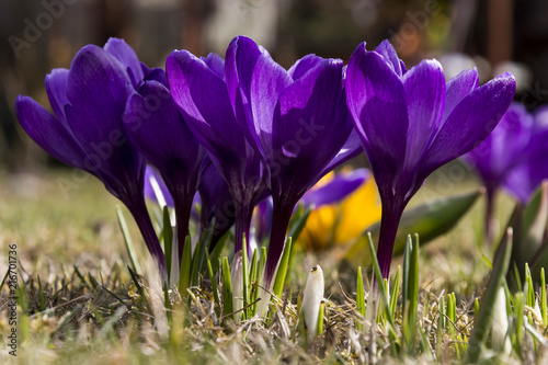 Staande foto Lente The purple crocus. Two white crocuses in the grass on the garden. The sunny day with clear blue sky. Spring nature. First flowers in spring