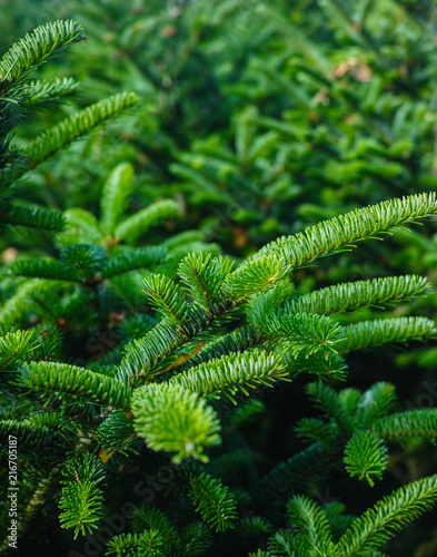 Plantatnion of young green fir Christmas trees, nordmann fir and another fir plants cultivation, ready for sale for Christmas and New year celebratoin, close up