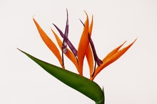 Strelizia Bird Of Paradise Flower On The White Background
