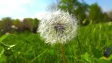 Dandelion Puff Ball Shallow Depth 1 HD Puffball