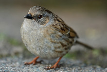 Close Up Of A Dunnock (Prunella Modularis)