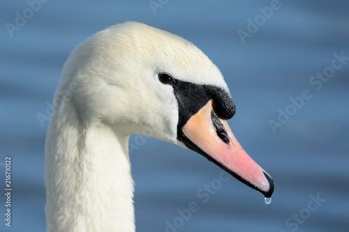 Fotobehang Zwaan Head shot of a mute swan (Cygnus olor)