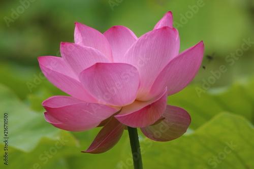 Foto op Canvas Lotusbloem Flor de Lotus