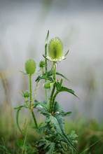 Thistle Growing On The Lakeshore
