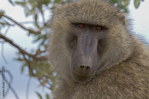 Garden Poster Monkey baboon in the wild