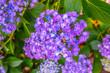 Violet flowers alyssum in summer garden.