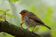 European robin (Erithacus rubecula) perched in a tree
