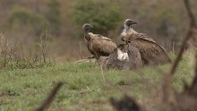Four Cape Vultures Sitting Cle...