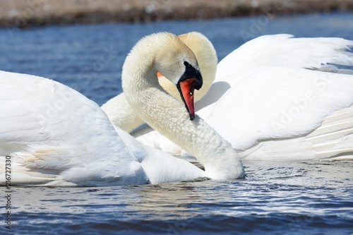 Foto op Canvas Zwaan Swans courting ritual