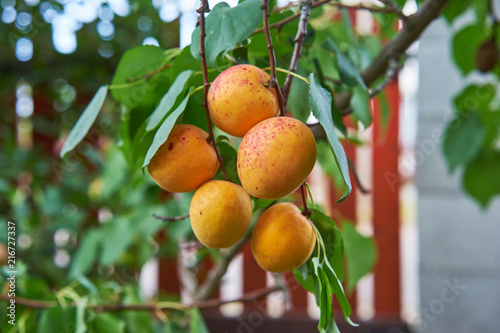 organic-ripe-apricots-on-a-tree-branch-before-harvest-picture-taken-in-small-garden-in-homegrown-orchard-sweet-and-juisy-summer-fruits-very-healthy-for-diet