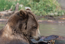 Alaskan Grizzly Bear (brown Bear) Swimming Profile Side View