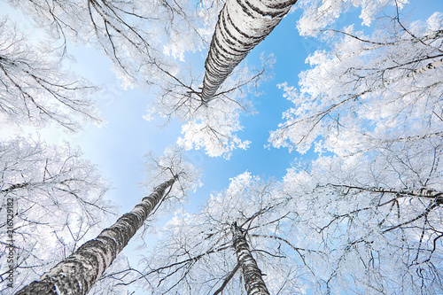 birch covered with hoarfrost