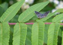 Gray Hairstreak Butterfly On Sumac
