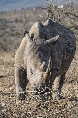 Fotobehang Neushoorn white rhino in the bush