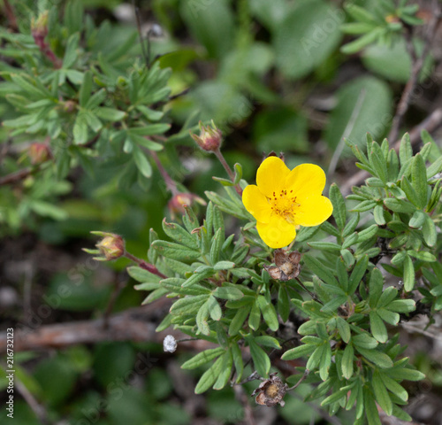 Yellow tundra rose flower buy this stock photo and explore similar yellow tundra rose flower mightylinksfo