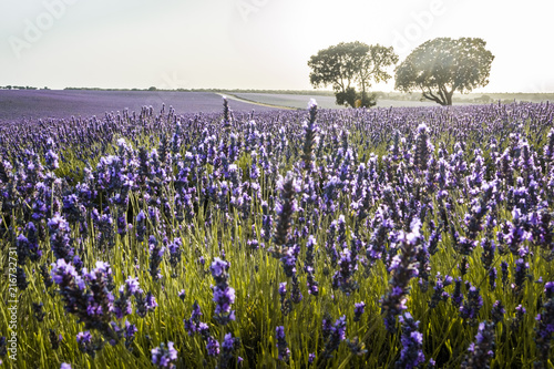 Foto op Aluminium Texas Lavender Fields at Brihuega, Spain