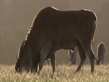 Giant Eland Grazing On Grass