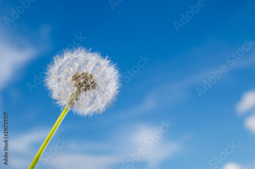 Dandelion flower with seeds on sunny day in deep blue sky background