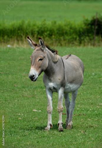Photo  Donkey in Pasture