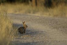 Cottontail Rabbit: Sunlit Grav...