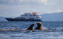 Sea Lions Fighting In Front Of A Small Cruise Ship In Alaska
