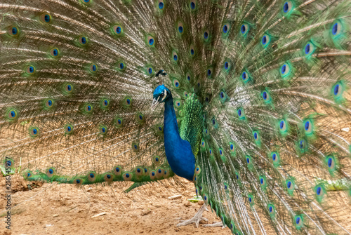 Fotobehang Pauw Peacock with Feathers Displayed