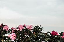 A Rosehip Bush With Sky As A B...