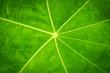 Green Leaf texture closeup nature pattern plant.