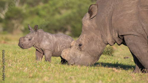 Baby Rhino or Rhinoceros