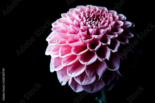 In de dag Dahlia beautiful pink dahlia