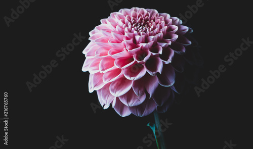 Deurstickers Dahlia beautiful pink dahlia