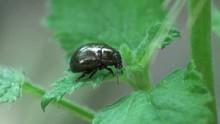 Macro Insect Chrysochus Auratu...