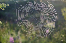 Spiderweb  Covered With Dew Dr...