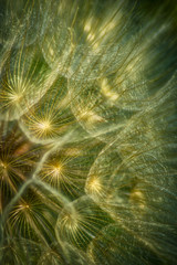 Obraz na Szkle Dmuchawce Dmuchawce podświetlane przez słońce