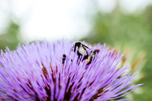 Curious Bumble-bee Hiding And Pollinating Artichoke Vivid Violet Flower In The Organic Bio Garden