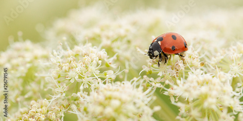 ladybird gathers nectar from a white fluffy flower