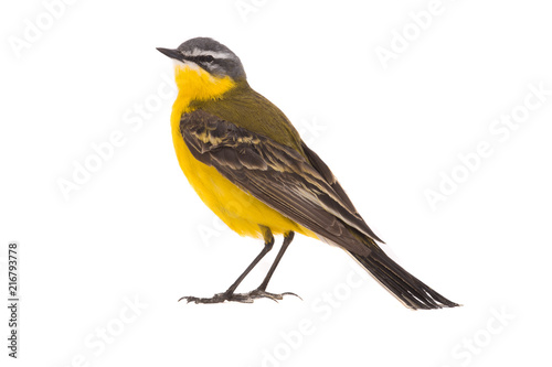 Western yellow wagtail Wallpaper Mural