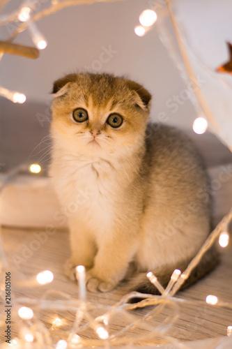 Keuken foto achterwand Kat kitten cat scottish straight, lop-eared fluffy, animal