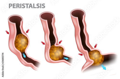 Digestion and Peristalsis. Esophagus Function Canvas Print