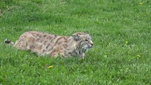 P03801 Bobcat Aka Wildcat In Stalking Mode With Ears Laid Back