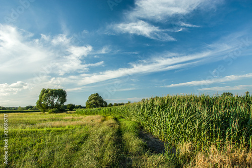 Spoed Foto op Canvas Weide, Moeras Corn field, road next to a meadow and trees on the horizon
